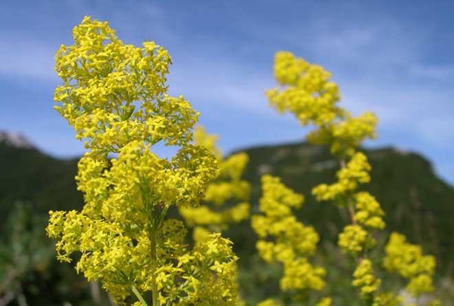 высокое желток растение