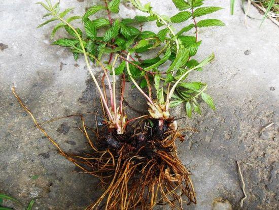трава с корнями