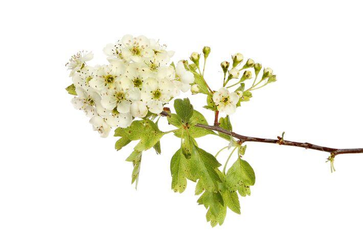 cvetki-bojaryshnika.jpg